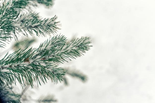 クリスマスの背景。コピースペースを持つ白いブドウの木の間のクリスマスツリーの枝 Premium写真