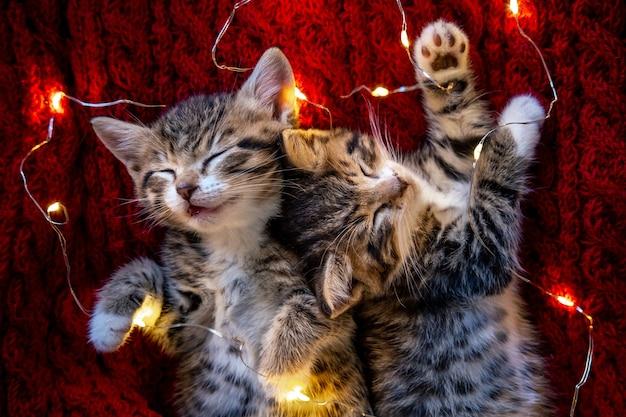 クリスマスの猫。赤い背景で眠っている2匹のかわいい小さな縞模様の子猫。クリスマスのキティ Premium写真