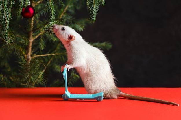 Christmas composition with a real rat. rat on a mini scooter near a christmas tree with toys on a red table Premium Photo
