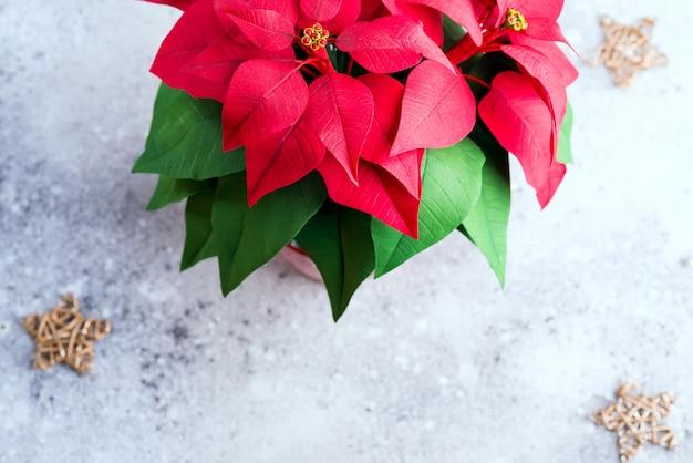 Christmas flower poinsettia on light stone  with gold stars. Premium Photo