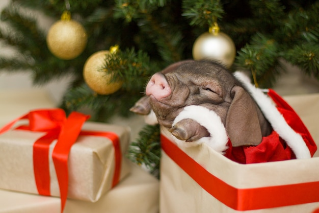 Christmas and new year card with cute newborn santa pig in gift present box under fir tree Premium Photo