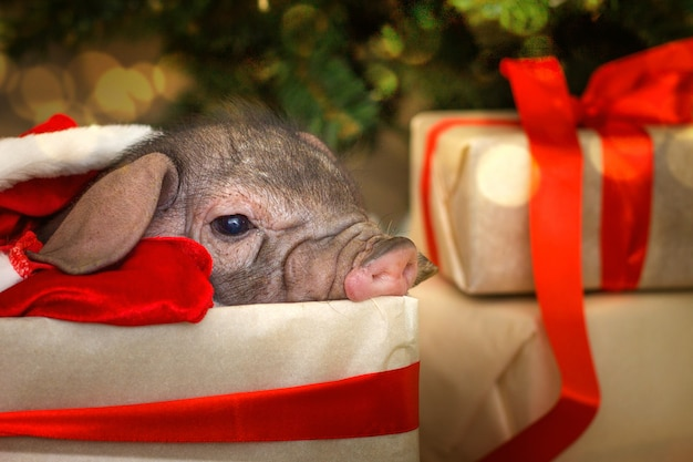 Christmas and new year card with cute newborn santa pig in gift present box. Premium Photo