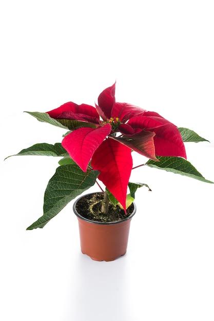 Christmas poinsettia flower isolated on white Premium Photo