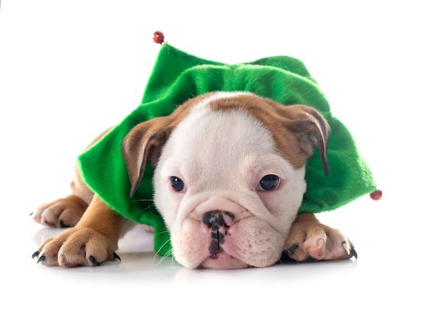 Рождественский щенок английского бульдога на белом фоне Premium Фотографии