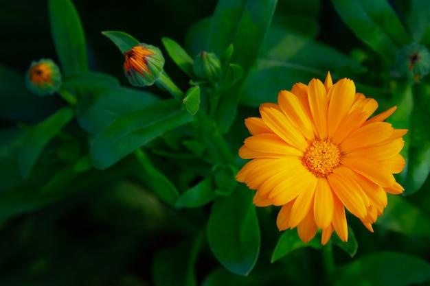 菊の鮮やかな花、庭の花、夏の野外レクリエーション。 Premium写真
