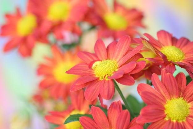Chrysanthemum flower Premium Photo