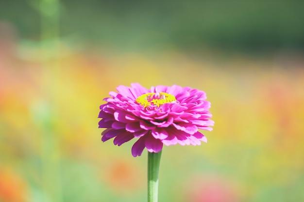 Chrysanthemum flowers close up. Premium Photo