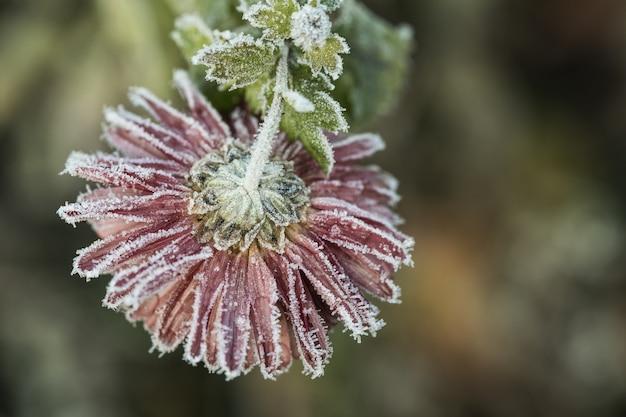霜に覆われた菊の花。 Premium写真