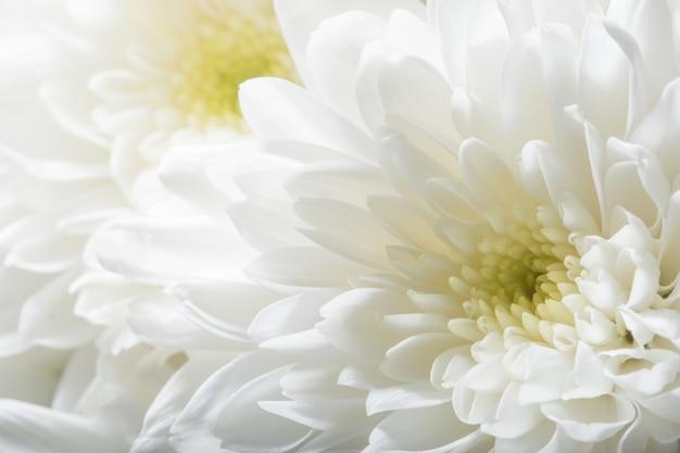 Chrysanthemum white flower photo premium download chrysanthemum white flower premium photo mightylinksfo