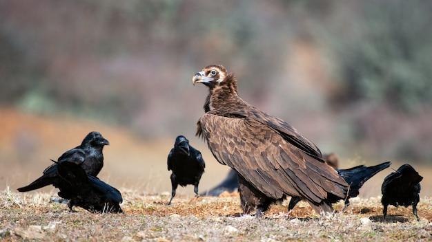 Чёрный гриф (aegypius monachus) и ворон (corvus corax) в дикой природе. Premium Фотографии