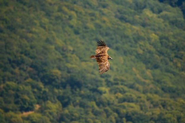 Чёрный гриф (aegypius monachus) летает над лесом. Premium Фотографии