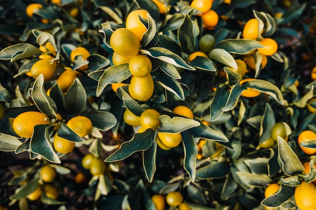 Плоды апельсина фортунелла, citrus sinensis, созревшие на солнце на плантации в валенсии. Premium Фотографии