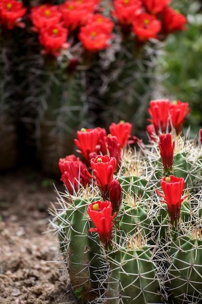 Claret-cup cactus flowers Premium Photo