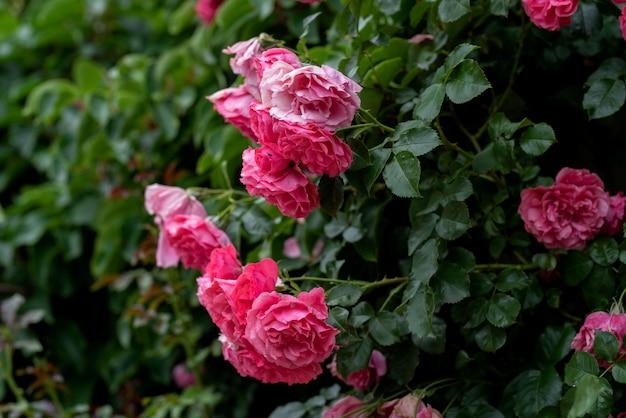 Climbing rose bush flowers on arching branches Premium Photo