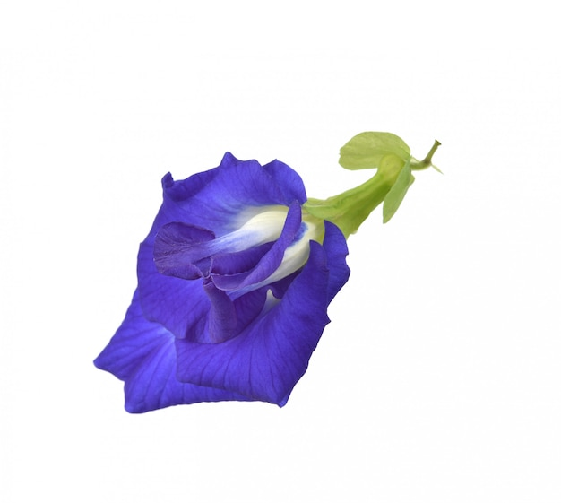 Clitoria ternatea or aparajita flower isolated on white background Premium Photo