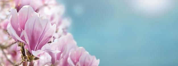 Close on  beautiful magnolia flowerss on a sunny blue ski in spring Premium Photo