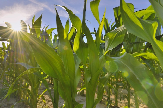 Close on leaf od maize growing in a field under sunshine Premium Photo