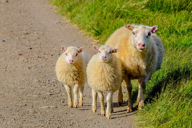 Close shot of baby sheep walking with there mother near a grassy field on a sunny day Free Photo