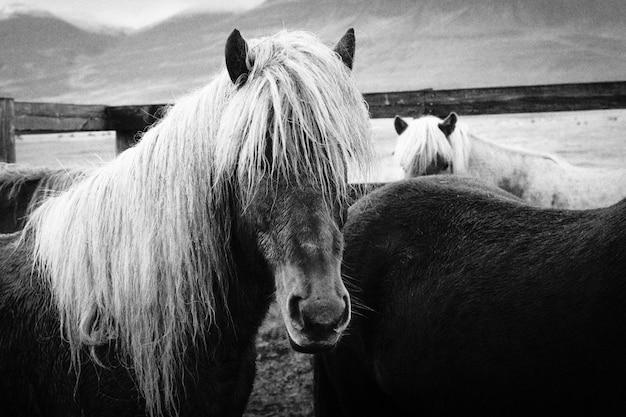 Close shot of beautiful long haired wild horses Free Photo