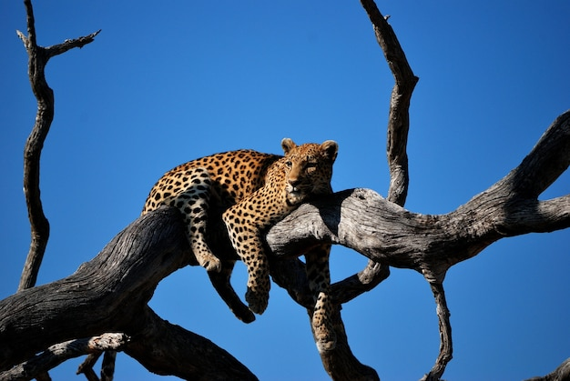Close shot of a leopard laying on a tree with blue sky in the background Free Photo