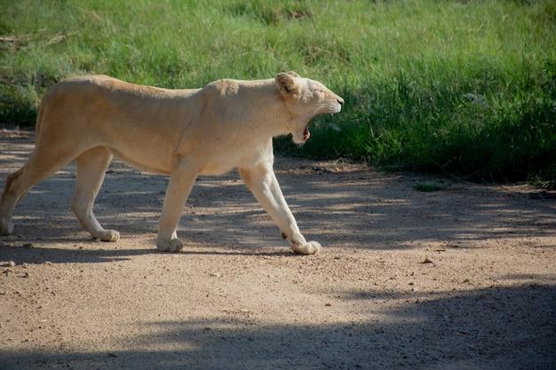 晴れた日に芝生のフィールドの近くを歩いて叫んでいるライオンのショットを閉じる 無料写真