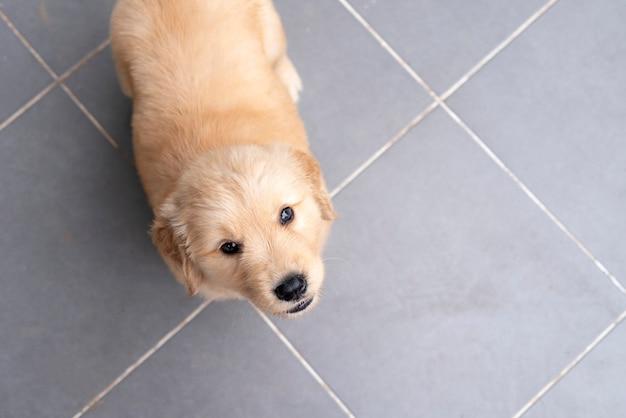 근접 올려 바닥에 귀여운 골든 리트리버 강아지 강아지. 프리미엄 사진