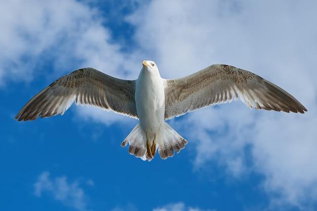 Close-up of amazing seagull flying Free Photo