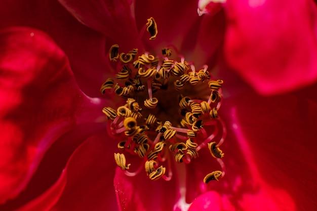 Primo piano delle antere del fiore rosso dove sono visibili i granuli di polline Foto Gratuite