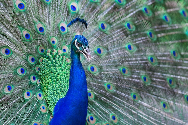 Close up of beautiful male peacock with feathers Premium Photo