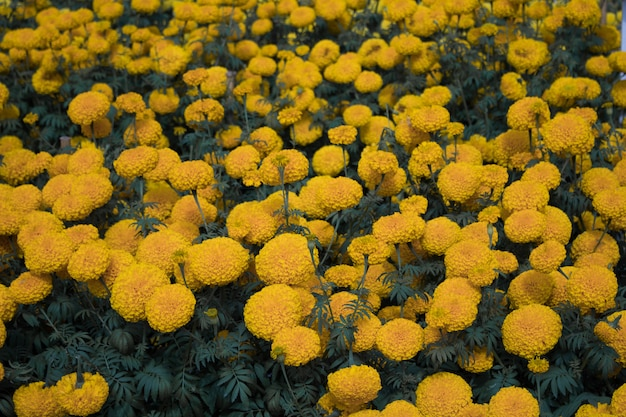 Close-up beautiful marigold flowers in the garden.in the morning Premium Photo