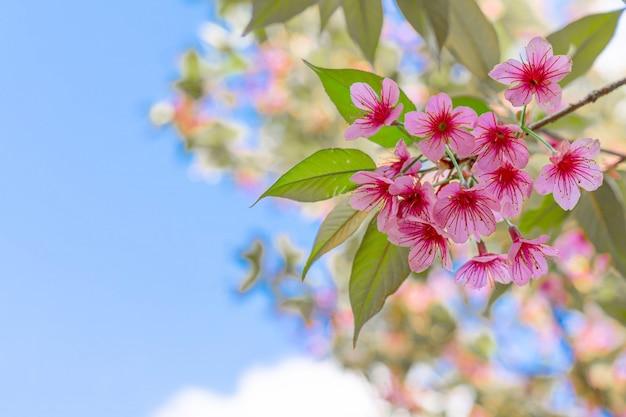 Close up beautiful pink cherry prunus cerasoides wild himalayan cherry like sakusa flower blooming at north thailand , chiang mai ,thailand. Free Photo