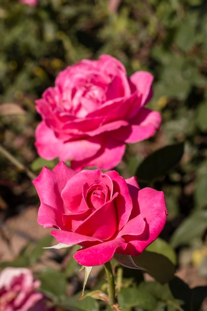 Close-up beautiful pink roses outdoor Free Photo
