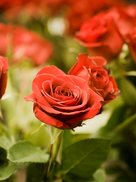 Close up of beautiful red roses Free Photo