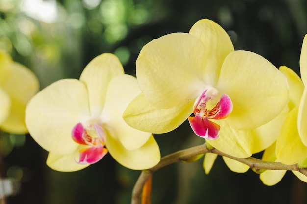 Close up of beautiful yellow orchid flowers on blurred background Premium Photo