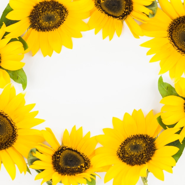Close-up of beautiful yellow sunflowers frame on white background Free Photo