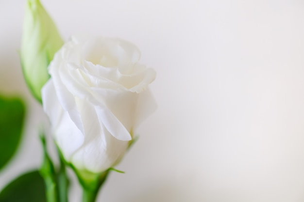 Close up of beauty white rose on white background with copy space for text. Premium Photo