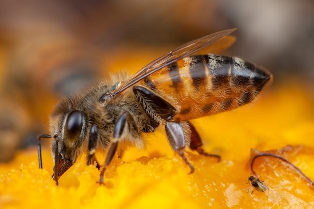 花から花粉を抽出する蜂をクローズアップ Premium写真