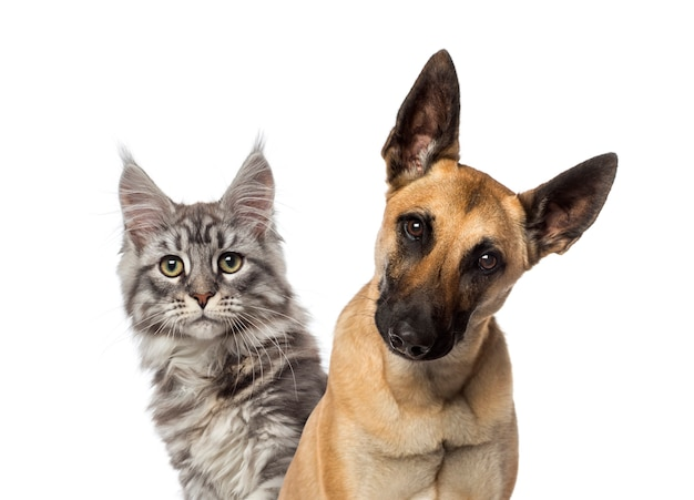 Close up of a belgian shepherd dog and a cat Premium Photo