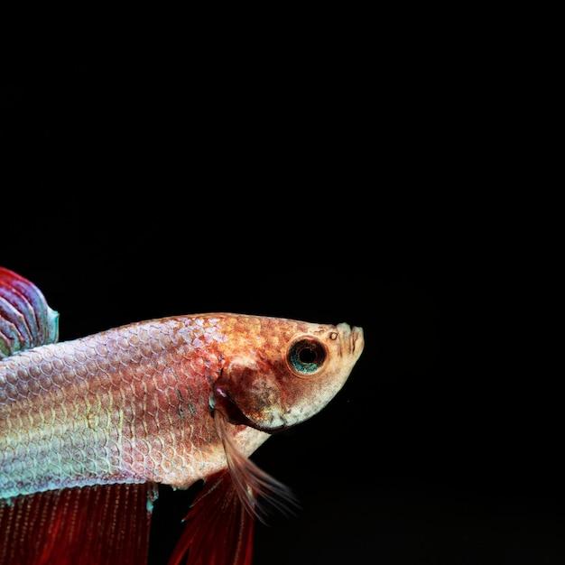 Крупным планом бетта рыбы в углу, глядя вверх Бесплатные Фотографии