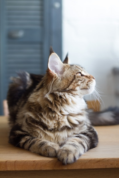Close-up of a big sleepy half-year-old maine coon kitten lying on a table in the minimalist interior of the kitchen, selective focus Premium Photo