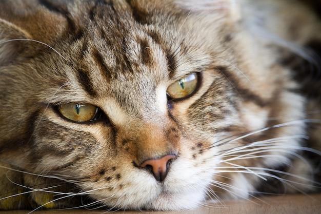 Close-up of a big sleepy half-year-old maine coon kitten Premium Photo