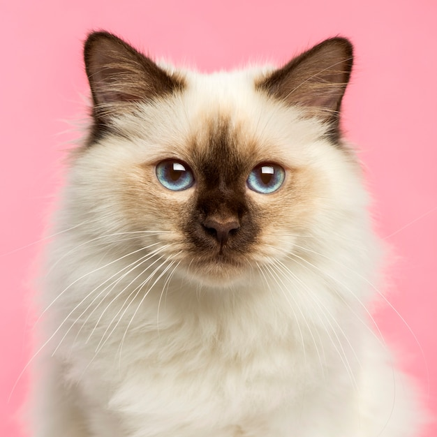 Close-up of a birman kitten looking at the camera on pink Premium Photo