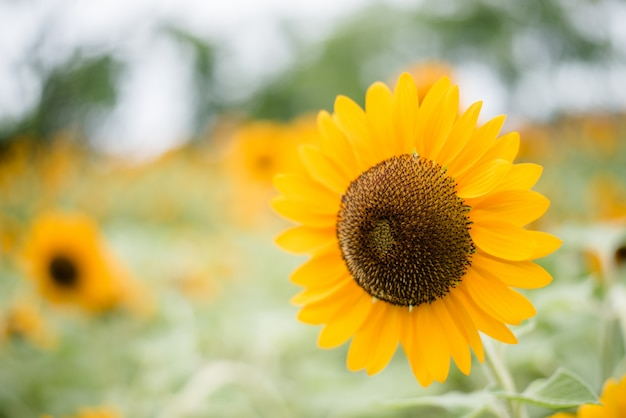 Close up of blooming sunflower in the field with blurred nature background. Free Photo