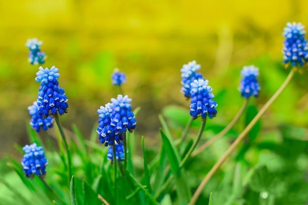 Close up blue spring flowers Premium Photo