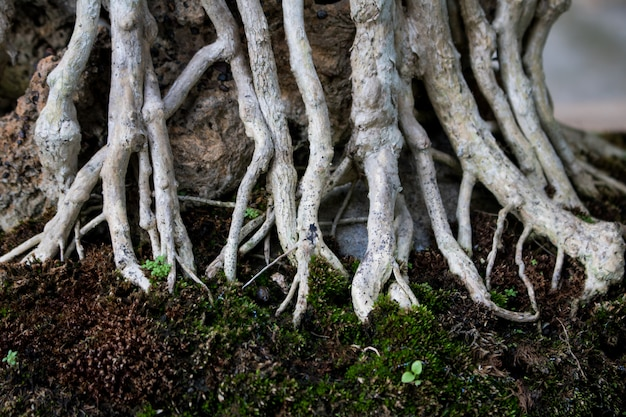 Close-up bonsai root wood spread texture. abstract background Premium Photo