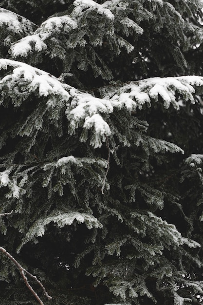 Close-up branches of leaves with snow Free Photo