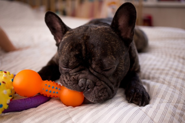 Close up brindle french bulldog playing with his toys on the bed Premium Photo