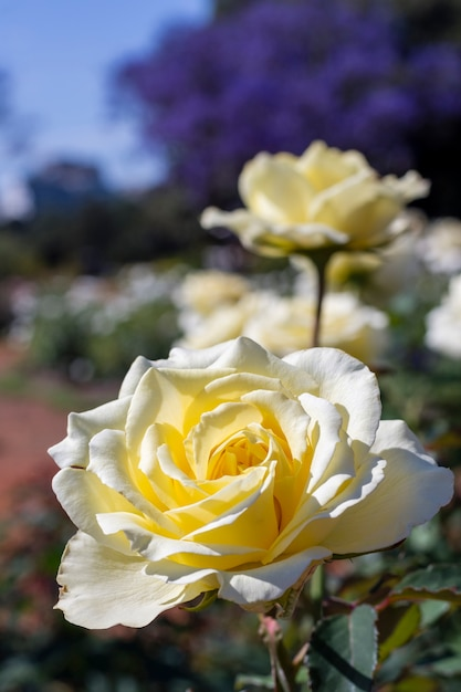 Close-up bunch of white roses outdoor Free Photo