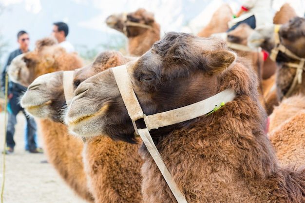Close up of camel in desert of nubra valley, leh, ladakh, india Premium Photo