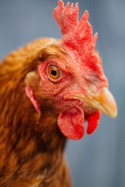 Close-up chicken in farmers hands Free Photo